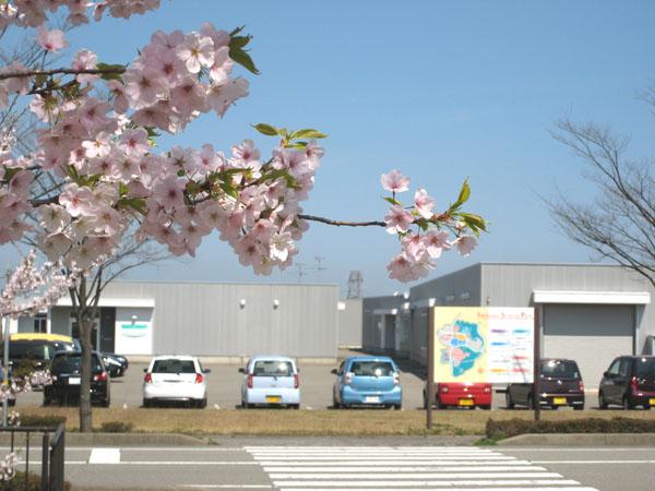 2012sakura1